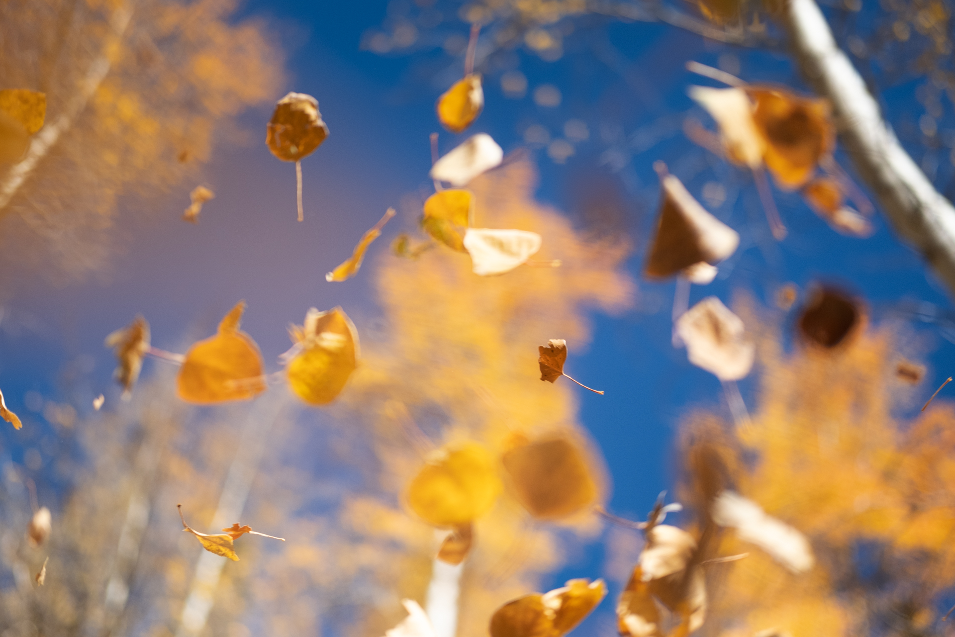 Aspens_Falling_Leaves_002